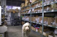 2 January, 2017.  Happy New Year.  Alba, our Spinone Italiano is perusing the Reynolds cycle tube inventory shelving expansion.  Now the 921 stainless tubing and the 853 heat treated air hardening tubing have their own pigeon holes and the 525,725, 631 and 531 share two rows of pigeon holes.  This should speed up order picking this year quite significantly.