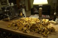 2014 chanterelle mushroom hunting bounty back home in the Strawberry lunch room.  Kelley and I venture out to the Columbia Gorge to hunt chanterelle mushrooms with our two dogs Winnie and Alba who are keen hunters.