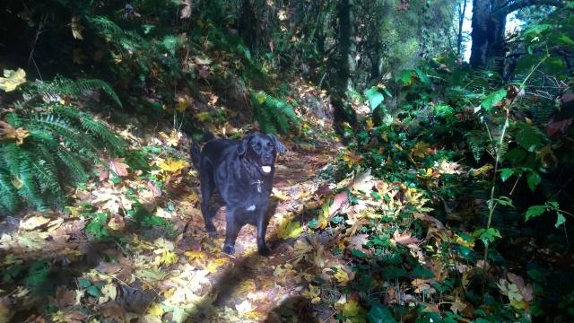 Winnie, our five year old Lab/Newfoundland mutt on the Washington Park walk with Dasha.