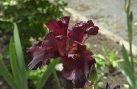 May 2020 a purple bearded iris in Kelley's garden.