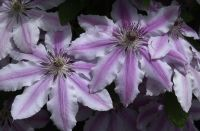 May 2020 in Kelley's garden on the southwest corner of our building there is a Clematis which for the last eighteen years has put forth some beautiful blooms.