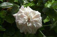 May 2020 first sweet Spring rose.
