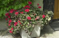 May 2020 Front door geraniums.  This year without a winter the plants did not need to over-winter in the warehouse.