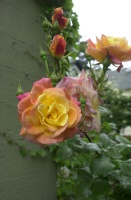 Joseph's Coat rose in bloom on northeast corner of Strawberry workshop, May, 2010.