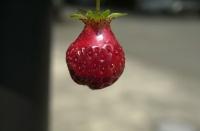 A fresh strawberry from Kelley's garden, Spring 2009.