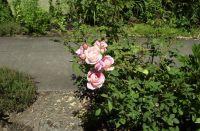 July 2017 roses do well in Kelley's garden.