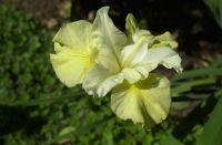 May 2020 Siberian iris.