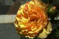 May 2020 orange rose.