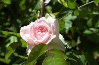 May 2020 pink rose.