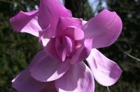 April, 2009 Springtime in Washington Park.  Tulip Tree?