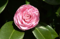 Washington Park Rose Garden, April, 2009.  Camellia bloom.