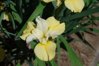 Yellow iris given to Kelley, May,2021 by Andrew.  Thanks Andrew.